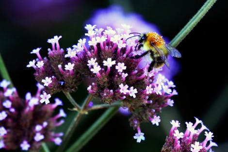 A close up of a bumblebee on a Verbena bonariensis flowerhead. The Verbena bonariensis flowerhead is a cluster of small pink tubular flowers on a long stem.