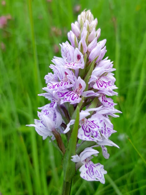 A common spotted orchid, Dactylorhiza fuchsia, on the South Lawn of Hillsborough Castle and Gardens