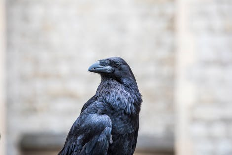 A close view of the upper three-quarters of a resident Tower raven.   According to legend, the kingdom and the Tower will fall if the six resident ravens ever leave the fortress. Traditionally, King Charles II first decreed that the Tower ravens should be protected.