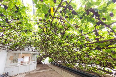 The Vine House, looking north-east. Showing ripening Vitis vinifera 'Shiva Grossa' (synonym- Black Hamburg) dessert grapes on the Great Vine. Originally planted in 1768 by Lancelot 'Capability' Brown (c1715-1783).
