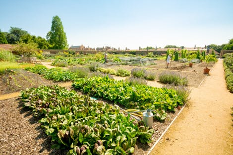 The Kitchen Garden at Hampton Court Palace under a bright blue sky. Showing varieties of planting in the foreground and the Tudor palace in the background