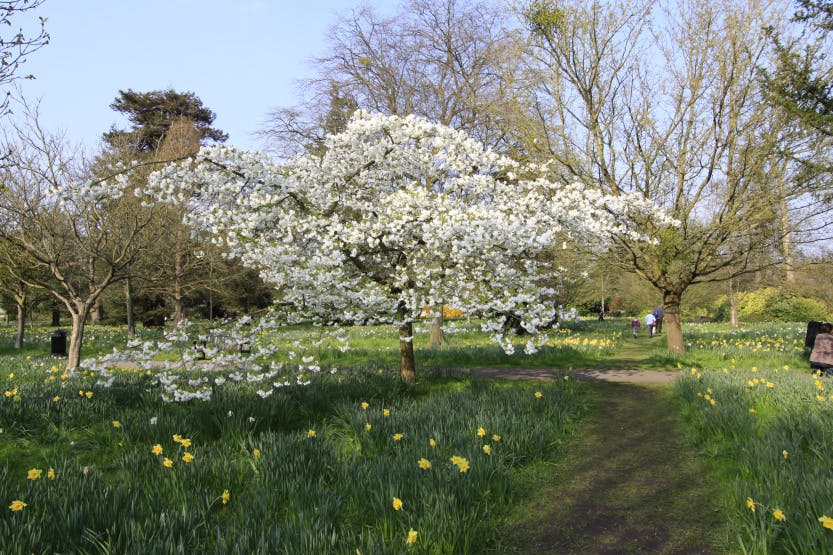 The Wilderness, looking towards a small tree covered in white blossom. A grass pathway is in the foreground and yellow daffodils dotted around in the grass.