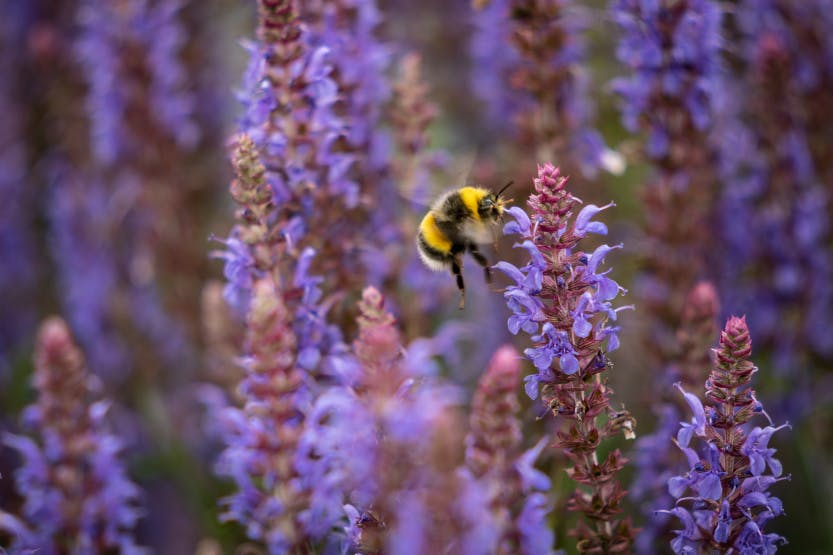 Close up of lavender plant with a visiting bee in Hillsborough Castle and Gardens summer 2020.
