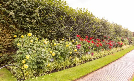 The Dahlia Border at Hampton Court Palace. Showing a large border with various varieties of dahlia flowers and a large hedge in the background under a cloudy sky