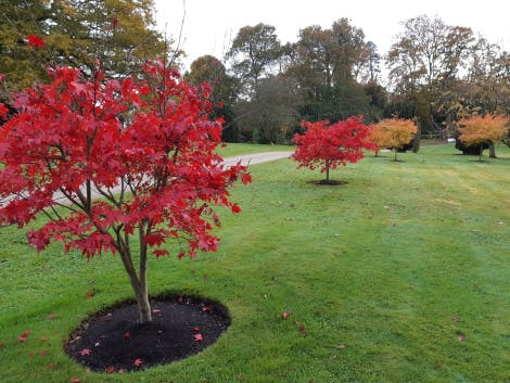 A view of acer trees in the gardens showing their red autumn leaves, 6 November 2019.