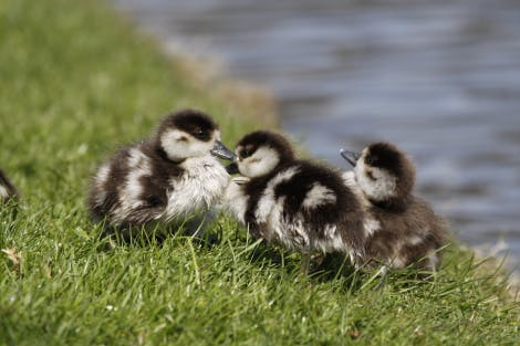 Home Park, showing a close up of three black and white Egyptian goslings nestling in grass.