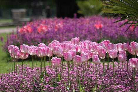 A close view of pink tulips spring bedding.