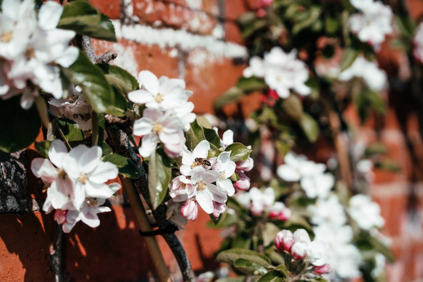 White spring blossom growing up a brick wall
