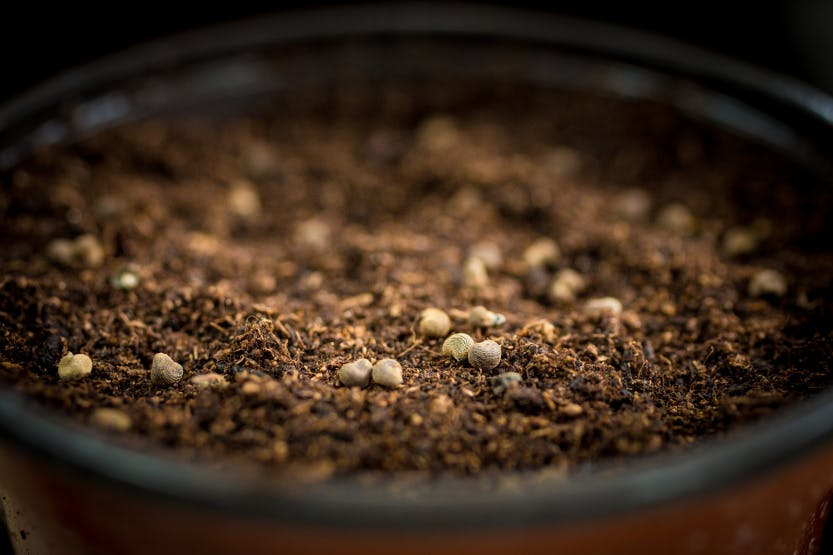 A Hampton Court Palace gardener pots seeds in the potting shed, early spring 2020. Showing a full pot of soil topped with small seeds