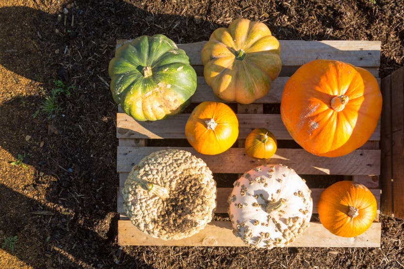 Various pumpkins and squashes including Musquee de Provence, Atlantic Giant, Triple treat, Jack O Lantern and Galeux de Eysines placed on a crate in the Kitchen Garden at Hampton Court Palace. Showing vegetables of varying sizes maturing in the autumn sunshine. Beds containing herbs and other produce can be seen in the background