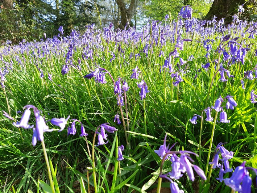 A close up view of a bluebell meadow (spring flowers), 22 April 2019.