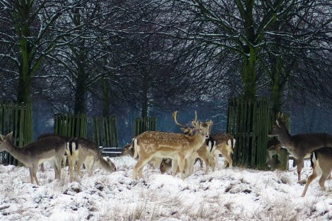 A herd of fallow deer (bucks and females) surrounded by trees in short grass.