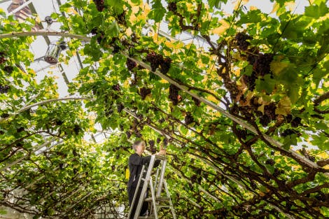 A gardener attends to the Great Vine under its green branches at Hampton Court Palace