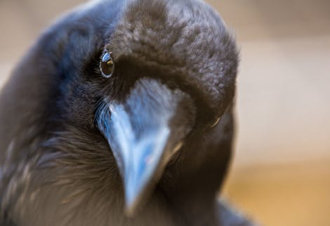 Close up of a raven's head, tilting to one side.