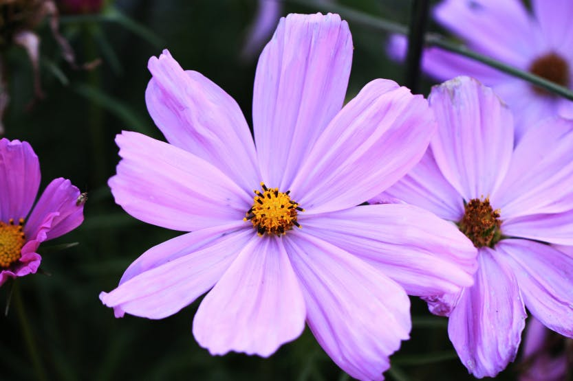 The East Front, showing a close up of a pale pink Cosmos flower. Two more pale pink Cosmos flowers partially seen in the background.