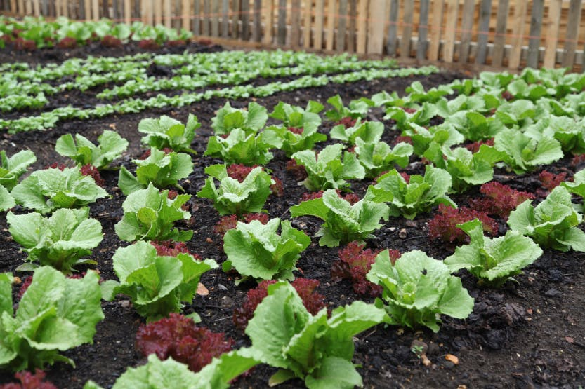 The Kitchen Garden showing a close up of rows of lettuce (salad leaves) (vegetable crop) growing, May 2014.