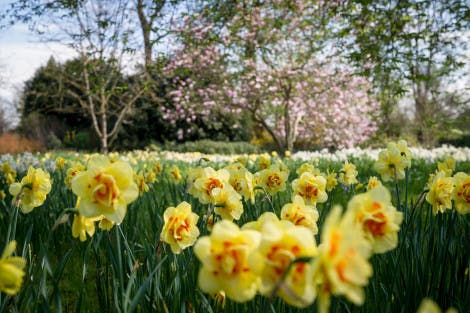 Daffodils in the spring sunshine with blossom trees in the background.