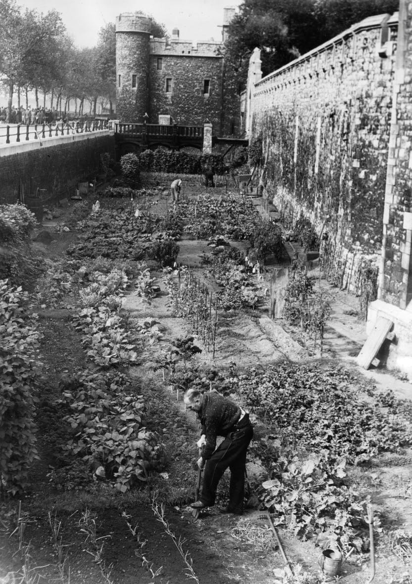The Tower of London moat, between the Middle Drawbridge and East Drawbridge, converted into allotments during the Second World War. Yeoman Warders Burrows (foreground), Stevens and Box can be seen 'digging for victory'