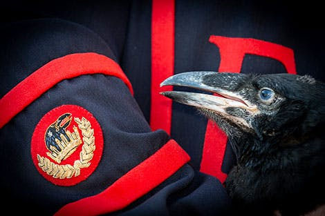 The Ravenmaster at the Tower of London holds a baby raven