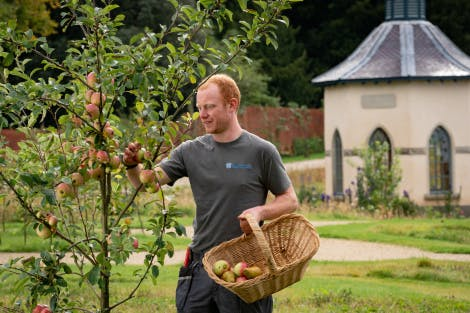 Gardener picking apples from a tree in the Walled Garden.