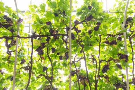The Great Vine. Showing numerous bunches of ripening Vitis vinifera 'Shiva Grossa' (synonym- Black Hamburg) dessert grapes. Originally planted in 1768 by Lancelot 'Capability' Brown (c1715-1783).