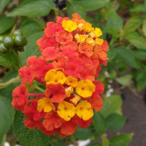 Lantana 'American shrub verbena'
