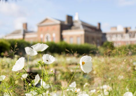 Image shows close up of Cosmos daisies, with Kensington Palace in the background.