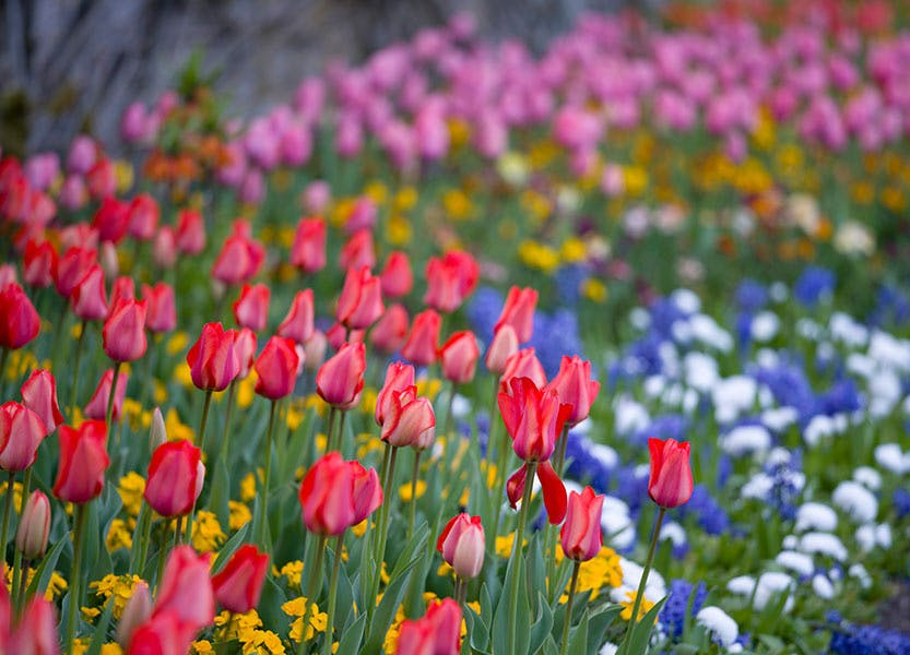 A display of red, blue and white tulips with other spring flowers in a garden