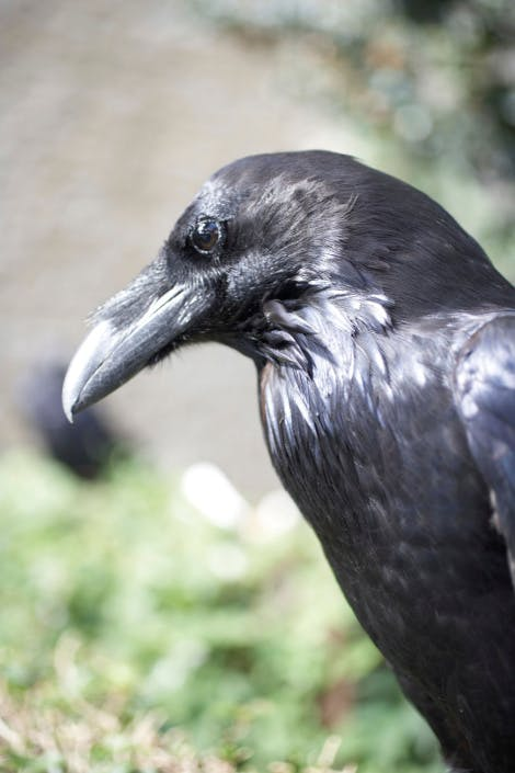 Tower of London, A Tower raven.