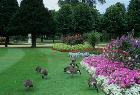 A gaggle of Canadian geese on the grass in the Hampton Court Palace formal gardens.